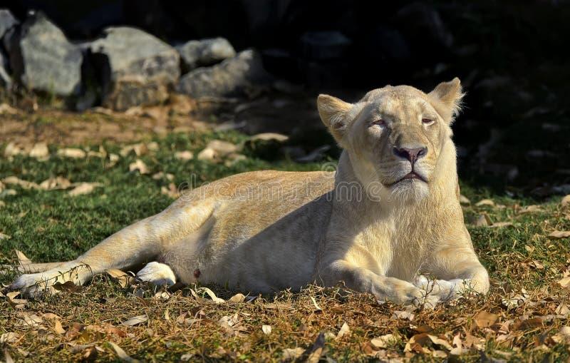 Беременная львица стоковая фотография rf
