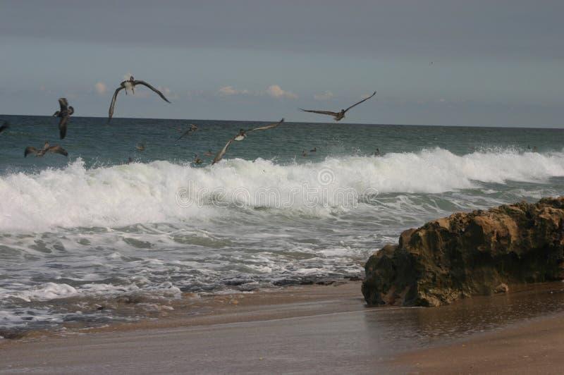 бечевник пеликанов стоковые фотографии rf