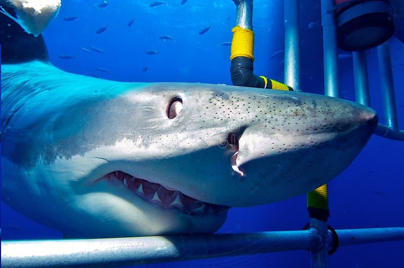 Белая акула в клетке стоковое изображение rf