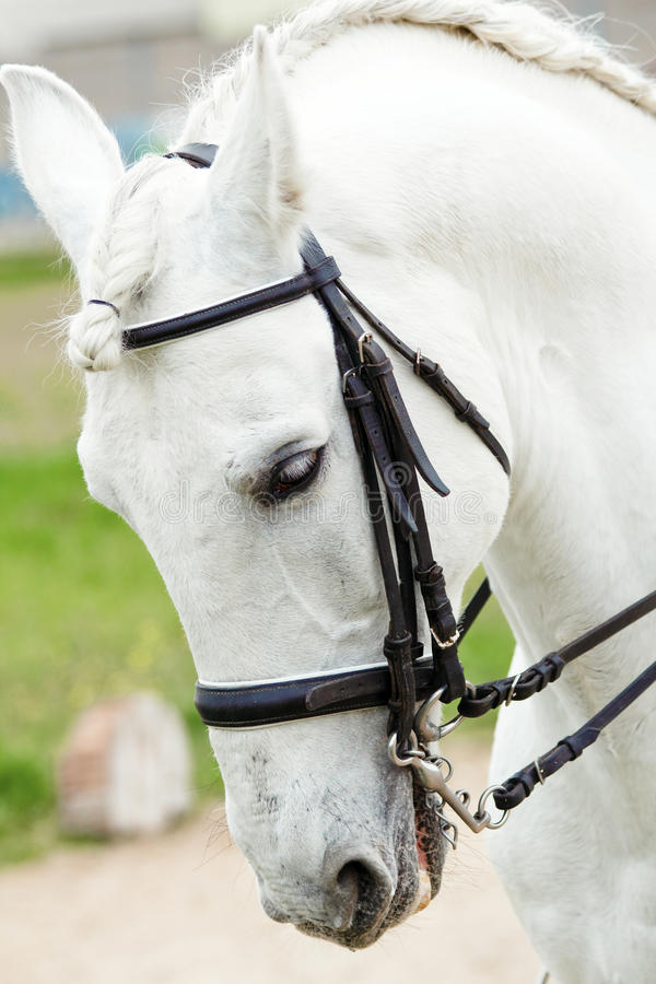 Белая андалузская лошадь стоковые изображения