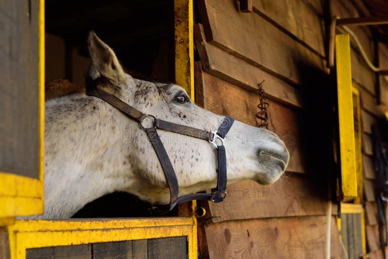 Белая аравийская лошадь смотря далеко от камеры стоковая фотография