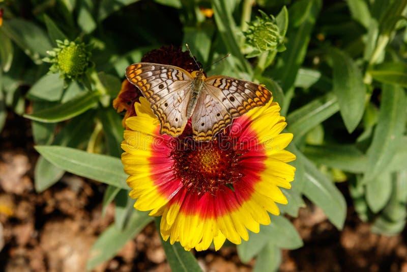 Белая бабочка павлина на цветке одеяла Gaillarda стоковые изображения rf