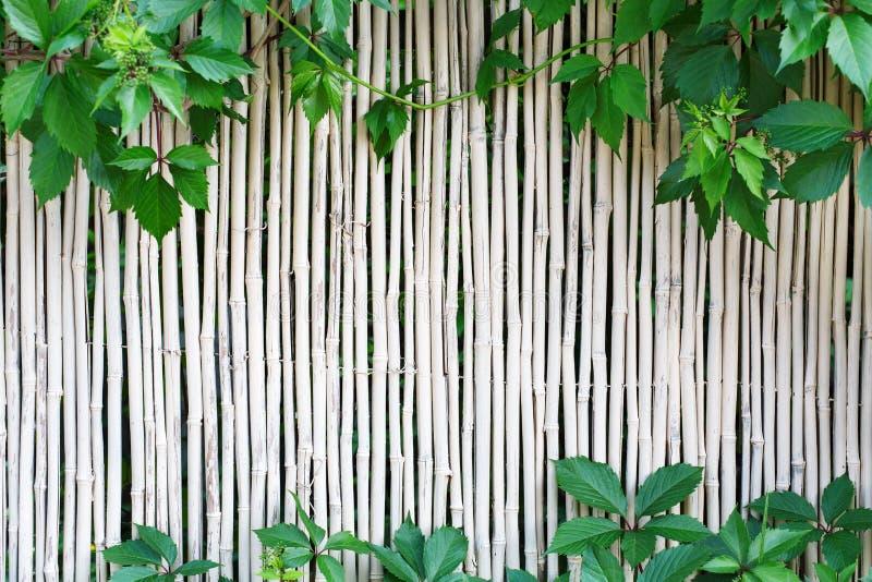 Белая бамбуковая предпосылка текстуры загородки с зеленой виноградиной выходит стоковое фото