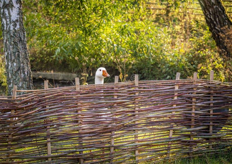Белая гусыня за загородкой фермы стоковые фото