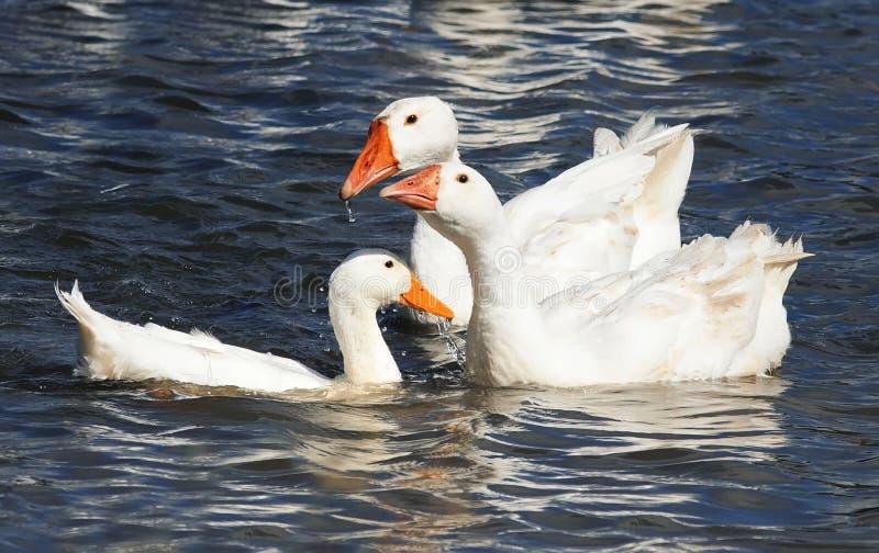Белая гусыня плавая на голубое озеро стоковые фотографии rf