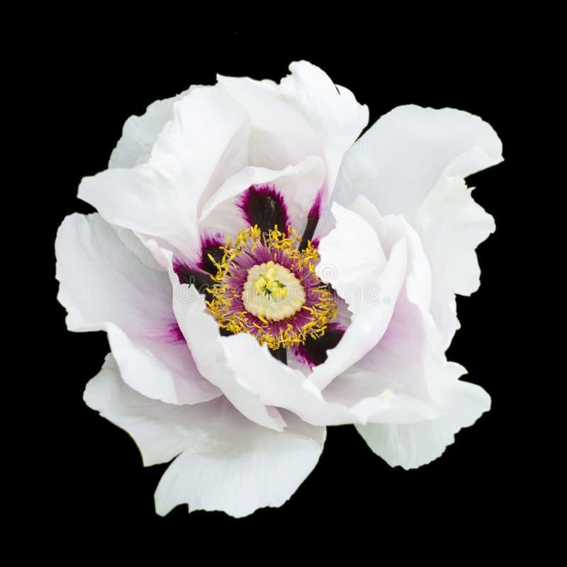 Белая изолированная фотография макроса цветка пиона стоковые изображения rf
