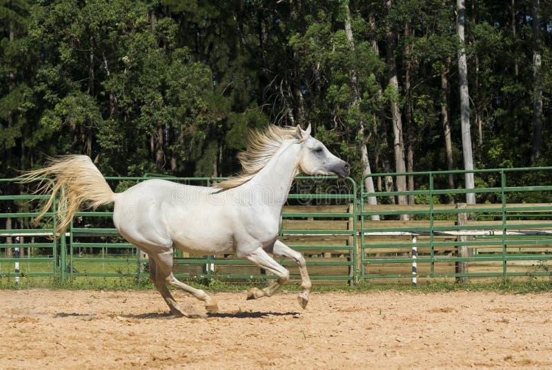 Белая дикая лошадь стоковая фотография rf