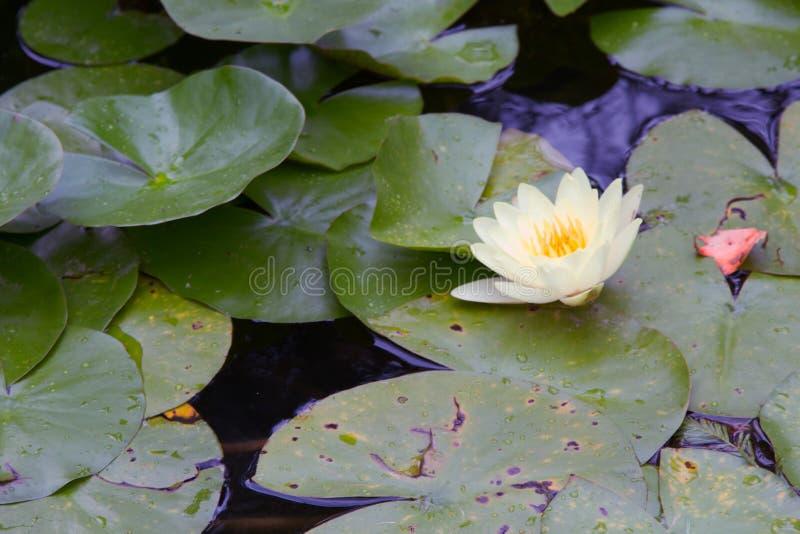 Белая лилия в пруде стоковое фото