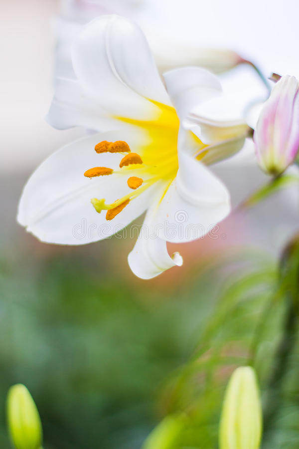 Белая лилия в саде стоковые фотографии rf