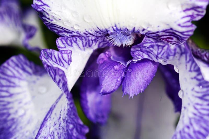 Белая и фиолетовая радужка стоковое изображение rf