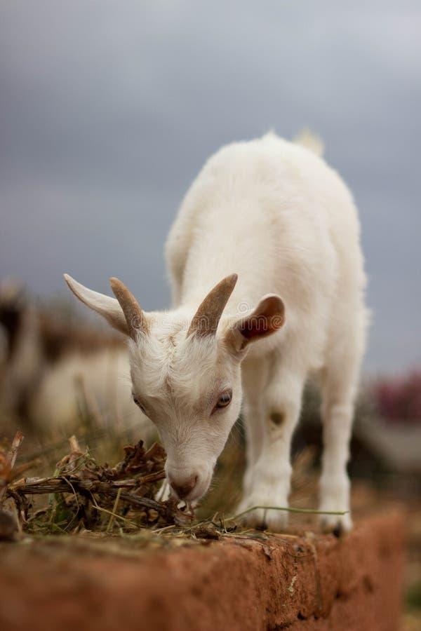 Белая коза ест траву стоковое фото