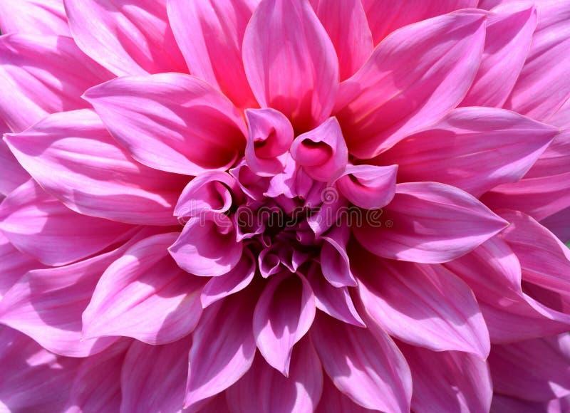 Белая конца-вверх красивая флористическая и розовая предпосылка конспекта цветка георгина стоковое изображение rf