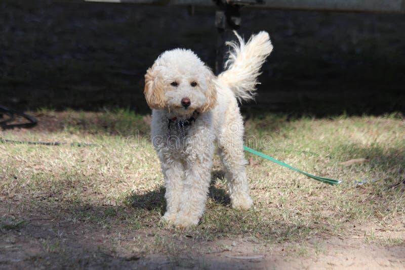 Белая курчавая с волосами собака стоковое фото