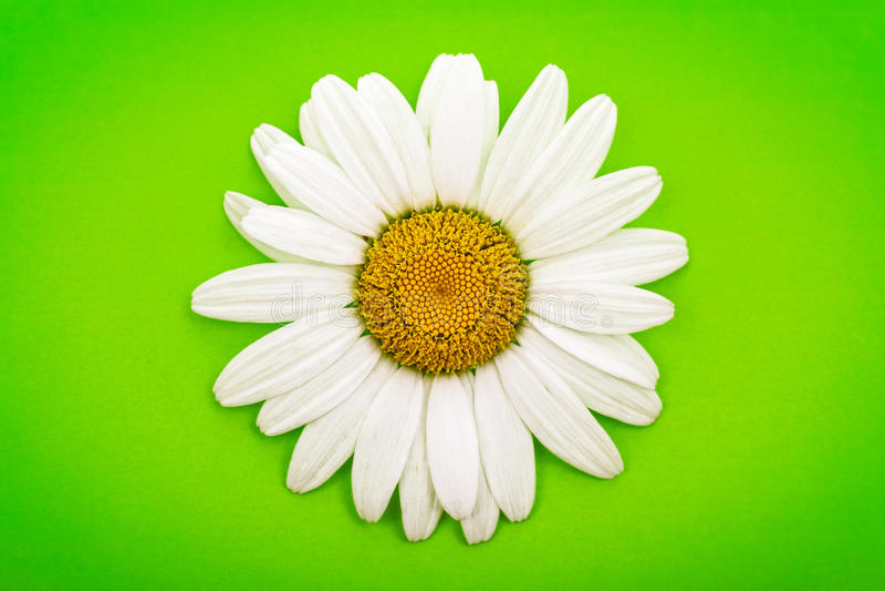 Белая маргаритка на зеленом цвете стоковые фотографии rf
