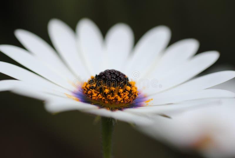 Белая маргаритка стоковое фото rf