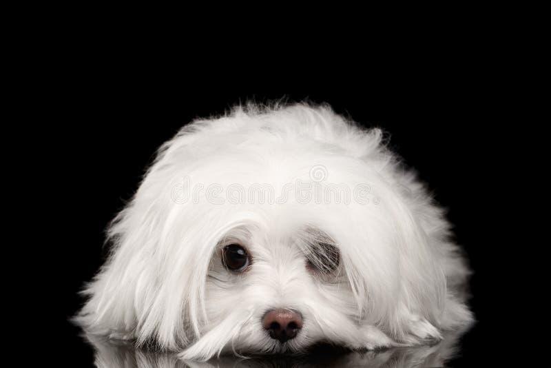 Белая мальтийсная собака лежа, унылые глаза смотря в изолированной камере стоковое фото