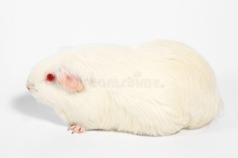 Белая морская свинка стоковые изображения