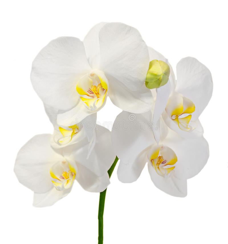 Белая орхидея ветви цветет с бутонами, орхидные, фаленопсисом известным как орхидея сумеречницы стоковое фото rf
