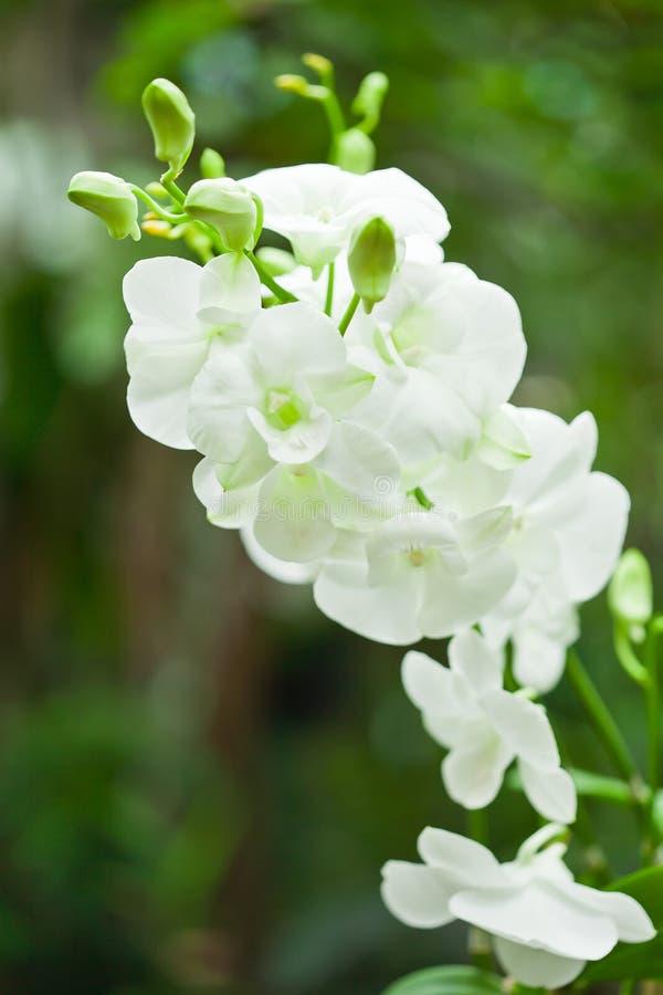 Белая орхидея стоковая фотография rf