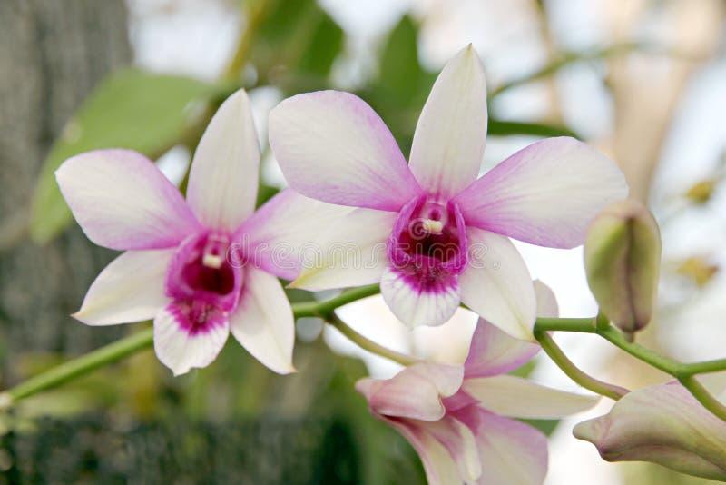 Белая орхидея. стоковые фото