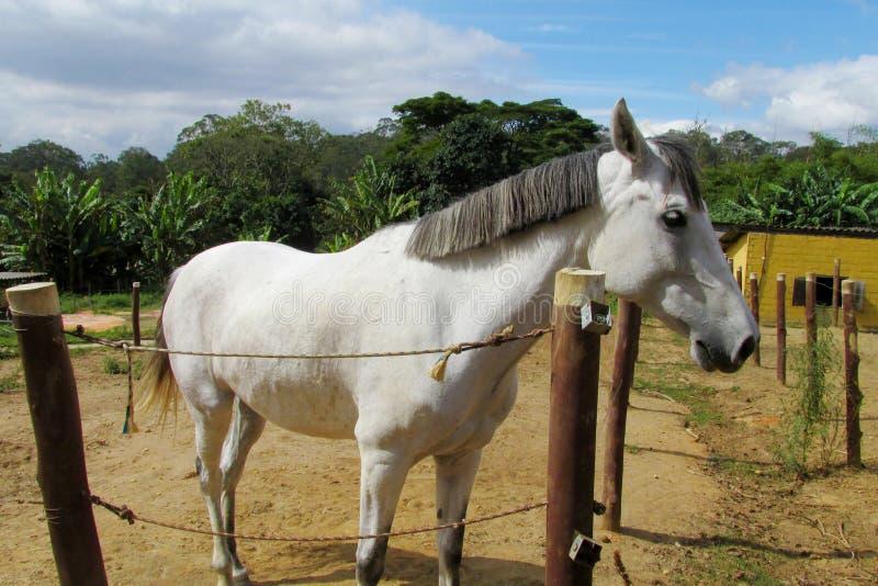 Белая лошадь на ферме стоковая фотография rf