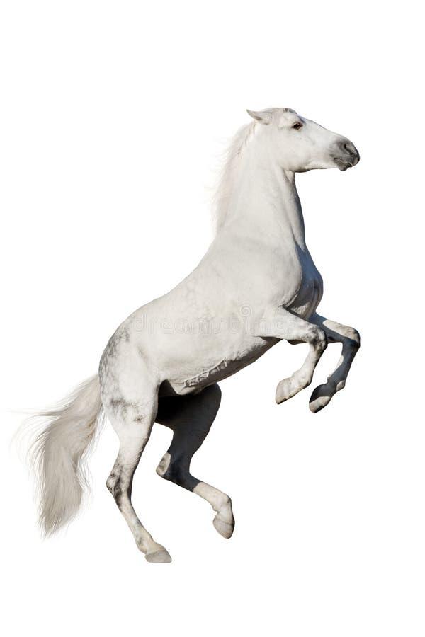 Белая лошадь поднимая вверх стоковое изображение