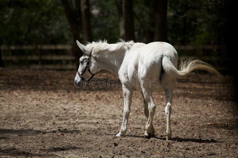 Белая лошадь  стоковое фото rf