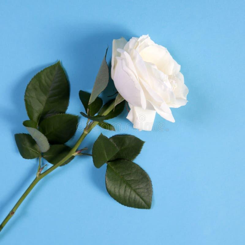 Белая роза на голубой предпосылке с пустым космосом для примечаний стоковые фото