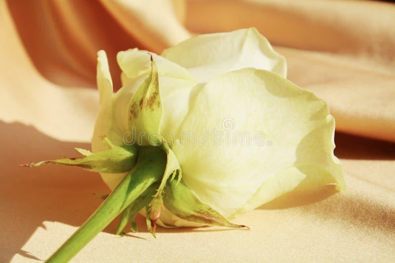 Белая роза на золотой предпосылке, конце вверх стоковое фото rf