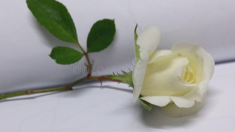 Белая роза на одиночном стержне стоковое фото