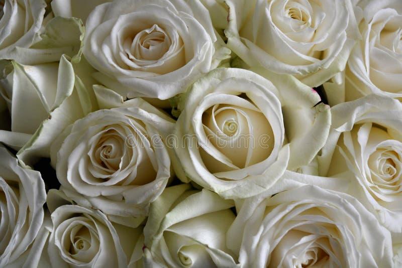Белая роза; розы стоковое фото