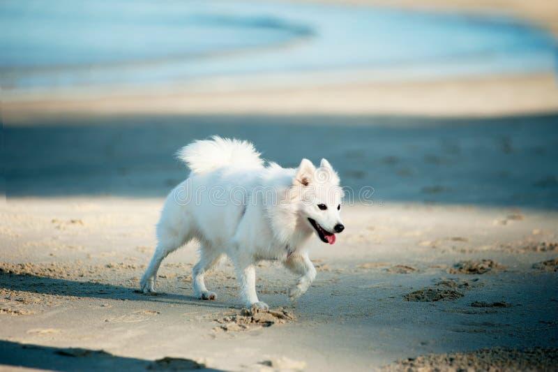 Белая собака на пляже стоковые изображения