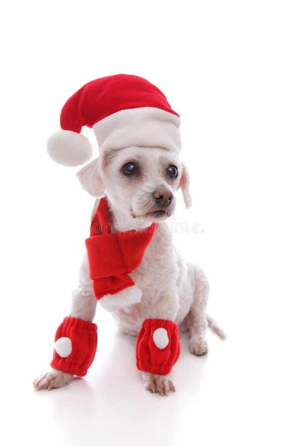 Белая собака нося шляпу, шарф и legwarmers Санты стоковая фотография rf