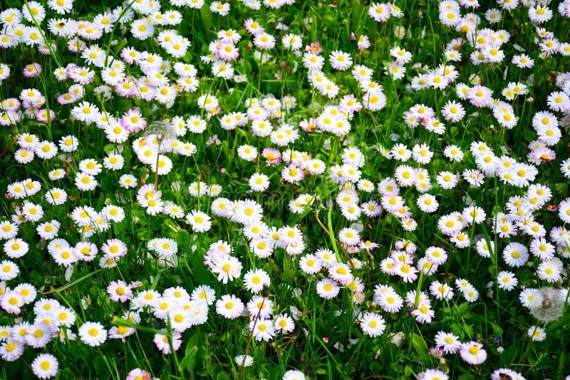 Белая трава цветет предпосылка на времени весны стоковое фото rf