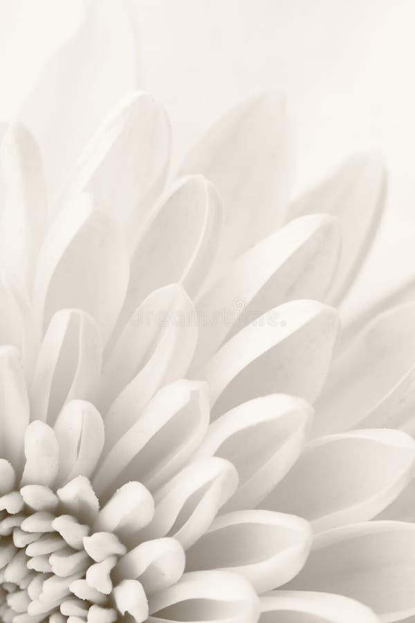 Белая хризантема стоковые изображения rf