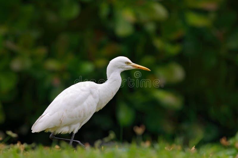 Белая цапля в зеленой вегетации, национальном парке Bundala, Шри-Ланке, Азии Egret скотин, Bubulcus ibis, в среду обитания цветка стоковые изображения