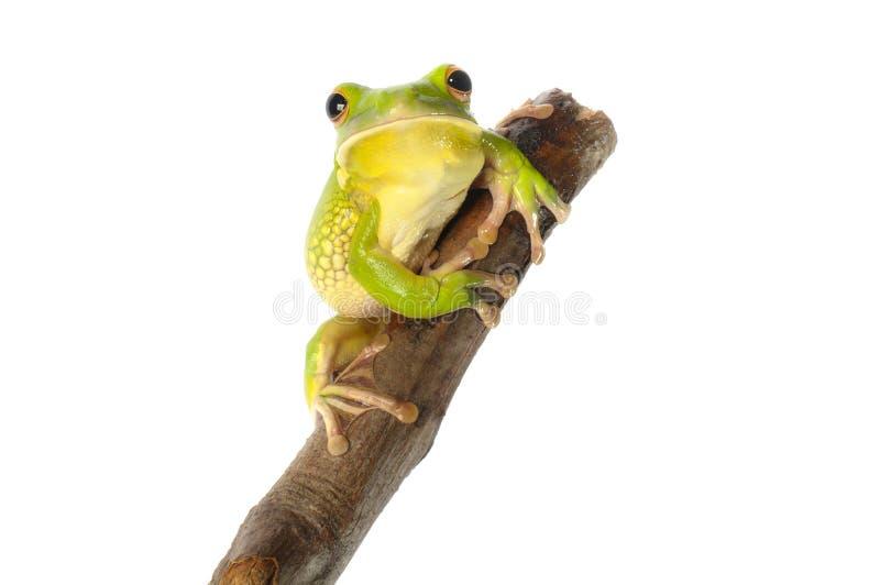 Белая Lipped древесная лягушка стоковое фото