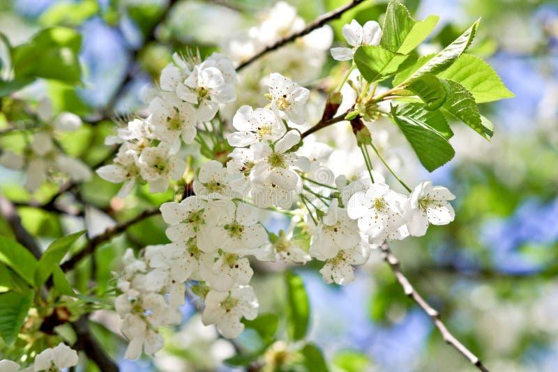 белизна вишни цветений стоковое фото