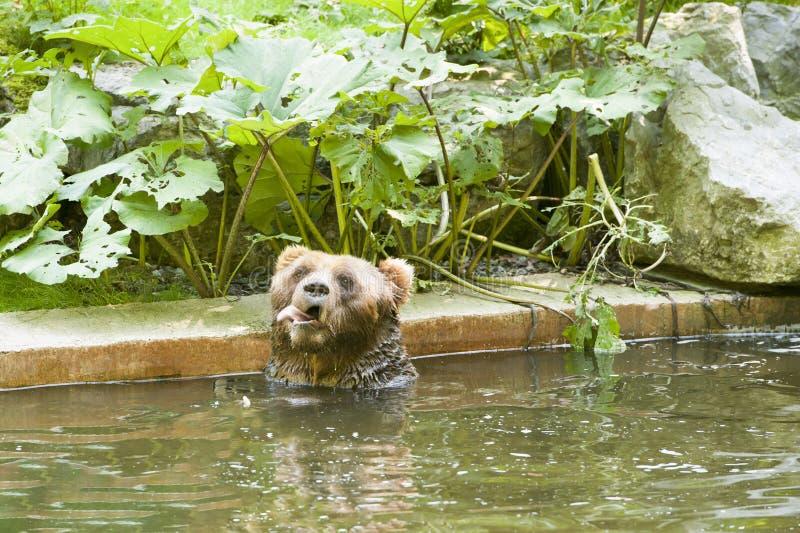 белизна гризли медведя коричневой изолированная иллюстрацией стоковое фото