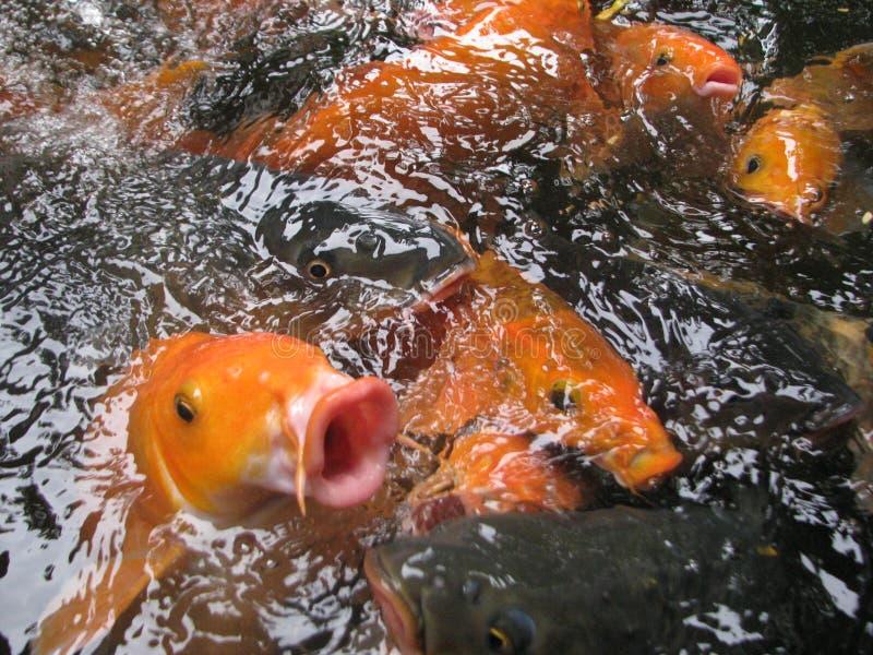 белизна изоляции золота рыб стоковое изображение