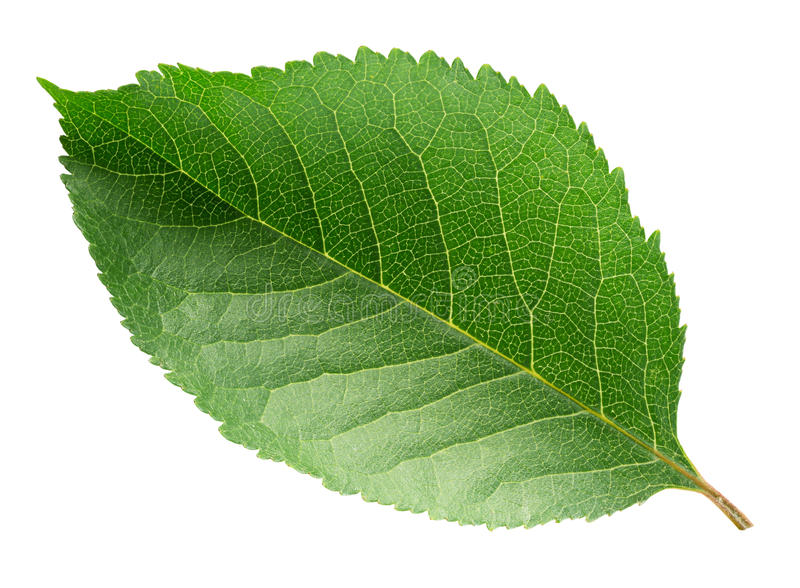 белизна листьев предпосылки изолированная вишней стоковые фото