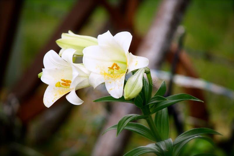 белизна лилии пасхи стоковые фотографии rf