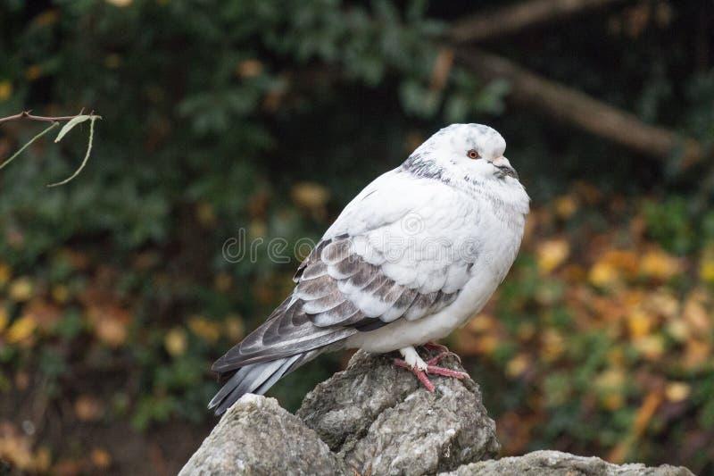 Белизна и серый цвет оперились раздражанный вверх по голубю сидя на камне стоковое изображение