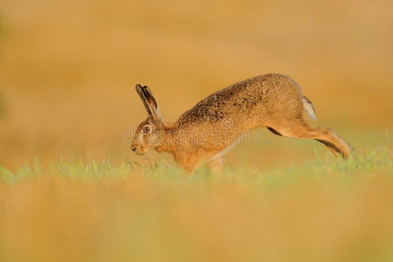 белизна иллюстрации зайцев предпосылки стоковые изображения rf
