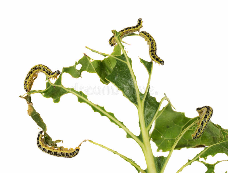 Белизна капусты Гусеницы brassicae Pieris стоковое фото rf