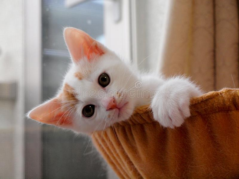 белизна кота красная стоковые изображения rf