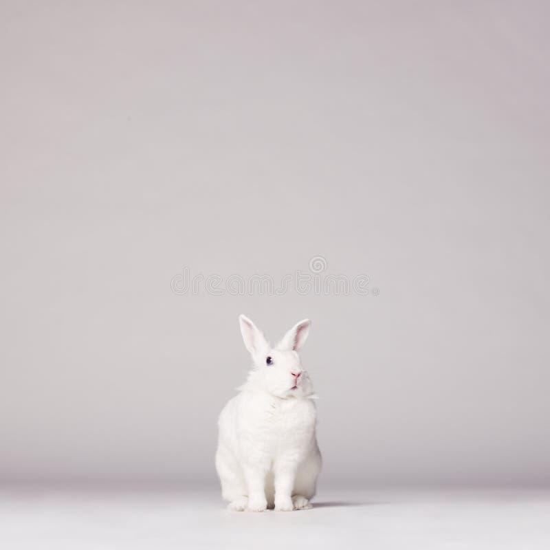 белизна кролика стоковые фотографии rf