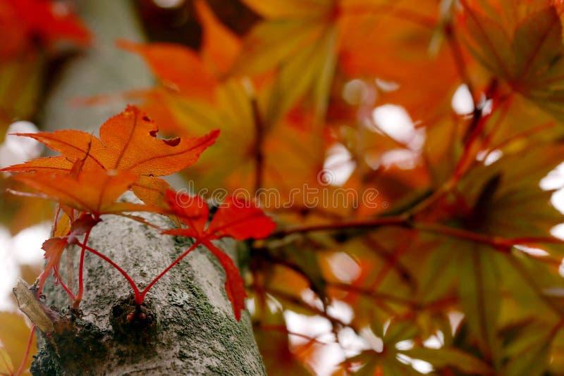 белизна клена листьев осени изолированная предпосылкой стоковое фото rf