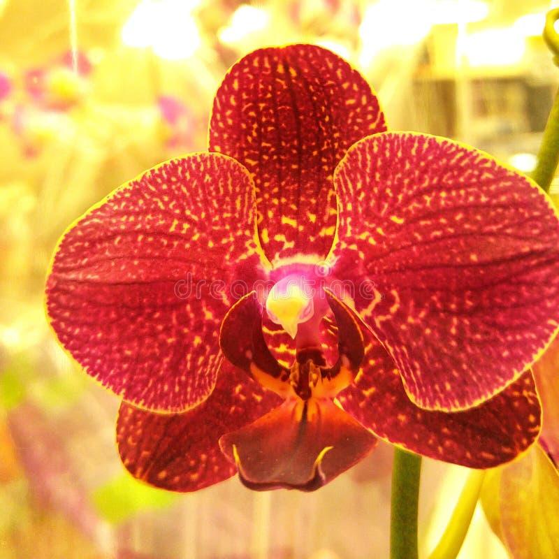 белизна орхидеи изоляции красная стоковое изображение rf