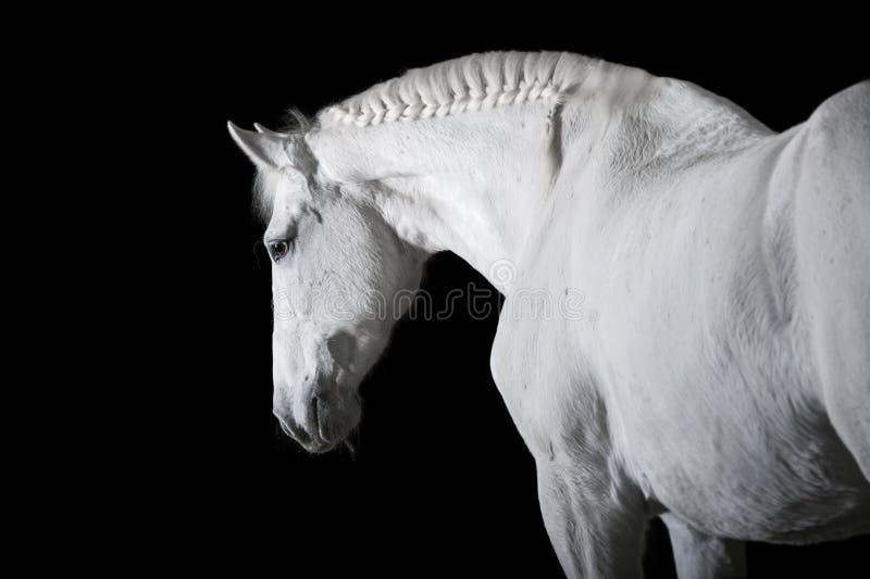 белизна лошади предпосылки черная стоковое фото